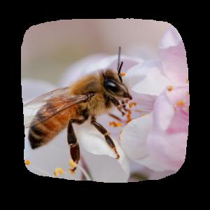 bewee-abeille